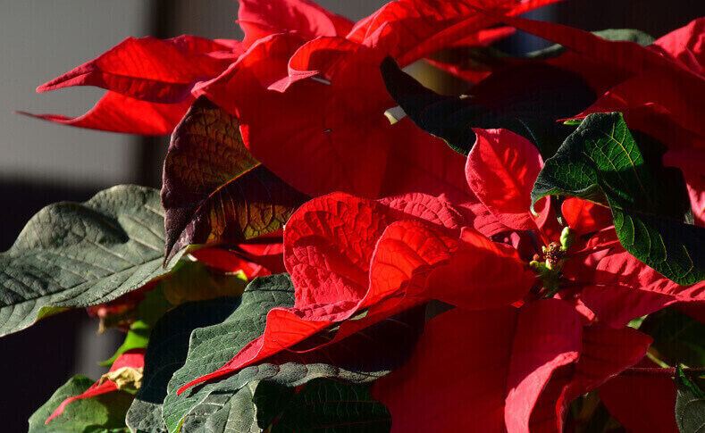 Poinsettien-Tag
