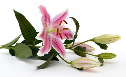 Lieblingsblume 3 ... Fotos Quelle: pflanzenfreude.de