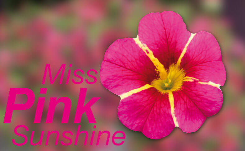 Miss Pink Sunshine